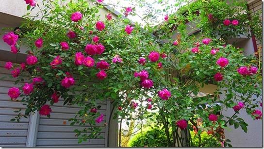 のんちゃんちのお庭の つる薔薇