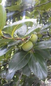 160629_柿の実