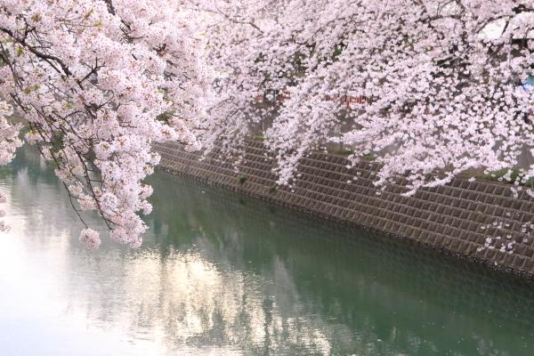 大岡川のサクラ 2016