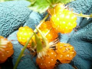 モミジイチゴ1
