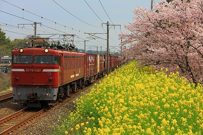 海老津の桜と菜の花