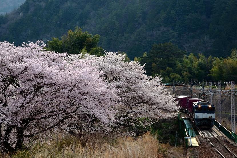 花曇りの伊奈川桜