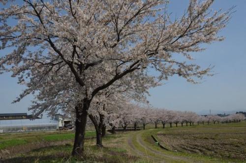 かわら亭の桜