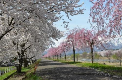 矢代川の桜並木