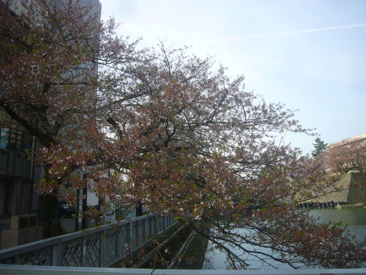 寂しいうば桜 H28.4.09