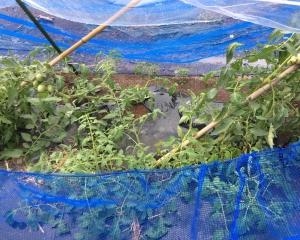 なぎ倒されたトマト
