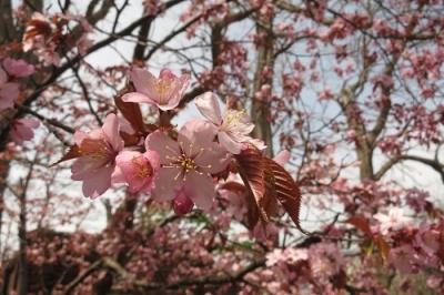 境内裏の桜