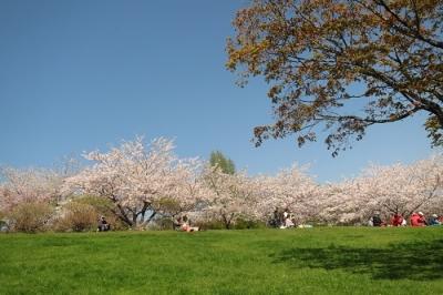 手宮の桜2