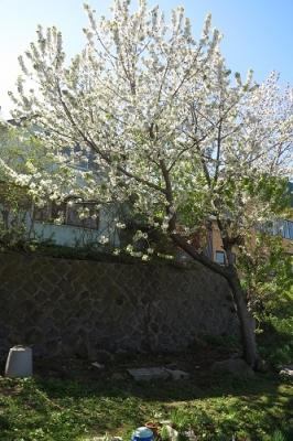 さくらんぼの木全体