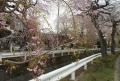数種類のしだれ桜
