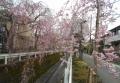 爛漫のしだれ桜