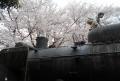 SLと桜(小手指公園)