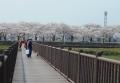 木道橋から見る伊佐沼の桜