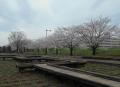 菖蒲田と桜①