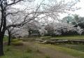 菖蒲田と桜②