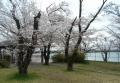 湖畔の桜①