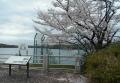 湖畔の桜②