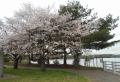 湖畔の桜③