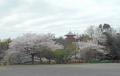 山口千寿観音の桜