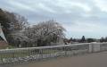 堤体から見る桜