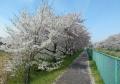 手前は大島桜