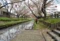 新河岸川の花筏②