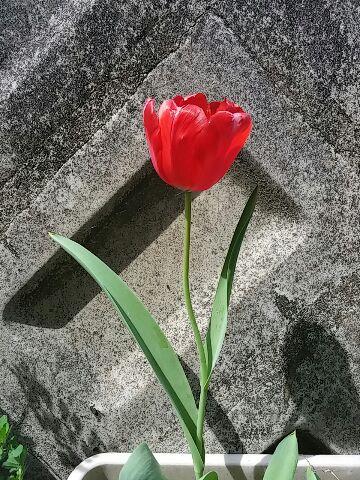 庭のチューリップ④