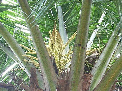 ココナッツの花