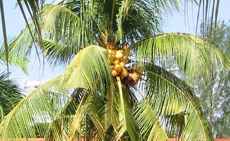 ココナッツの実 (2)
