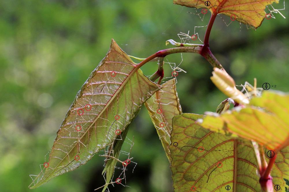 2ナナフシモドキ幼虫6bc