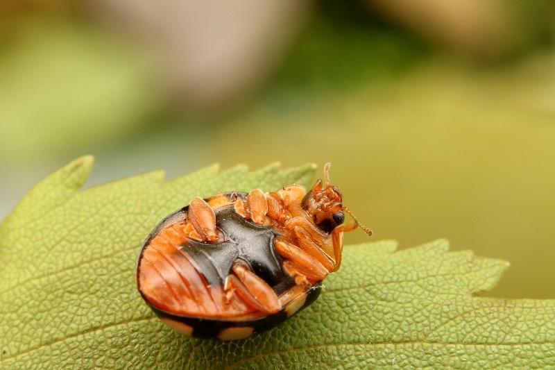 シロジュウシホシテントウ黒化型 (2)b