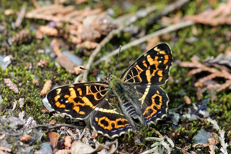サカハチチョウ春型 (2)b