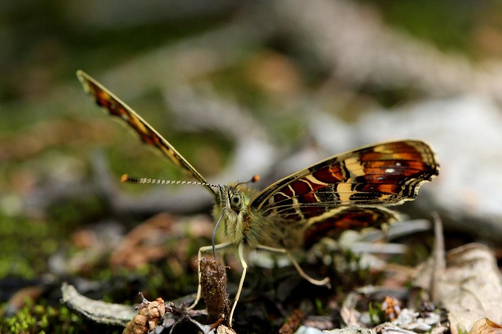 サカハチチョウ春型 (3)