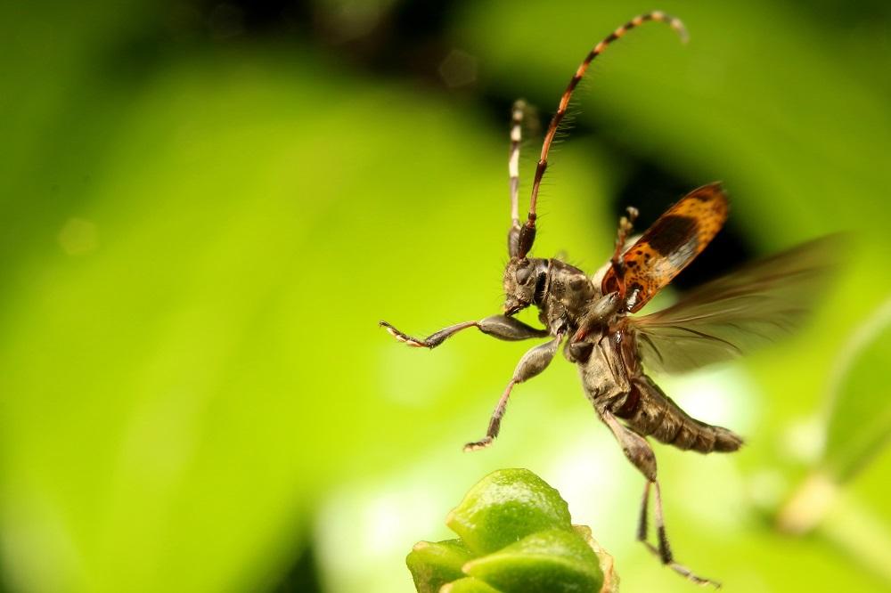 ヒトオビアラゲカミキリ (2)b