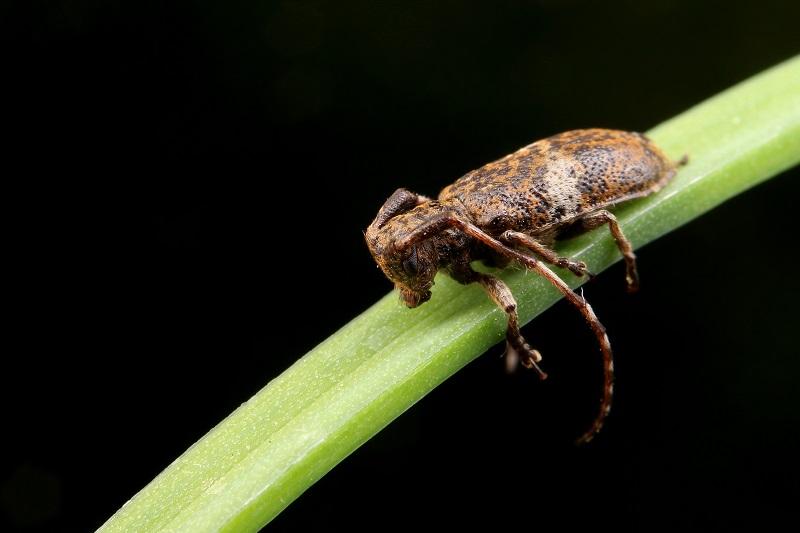 シロオビゴマフカミキリ (1)B
