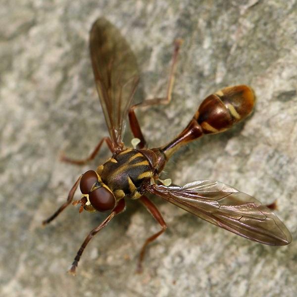 ヒメハチモドキアブ (2)b