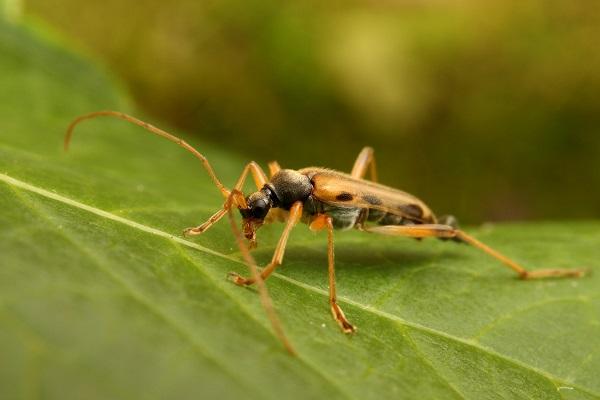 ナガバヒメハナカミキリ (1)b