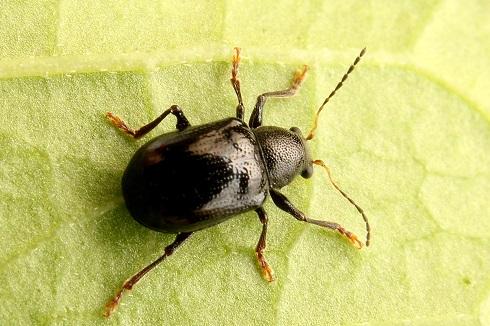 チャイロサルハムシ黒化型 (1)b