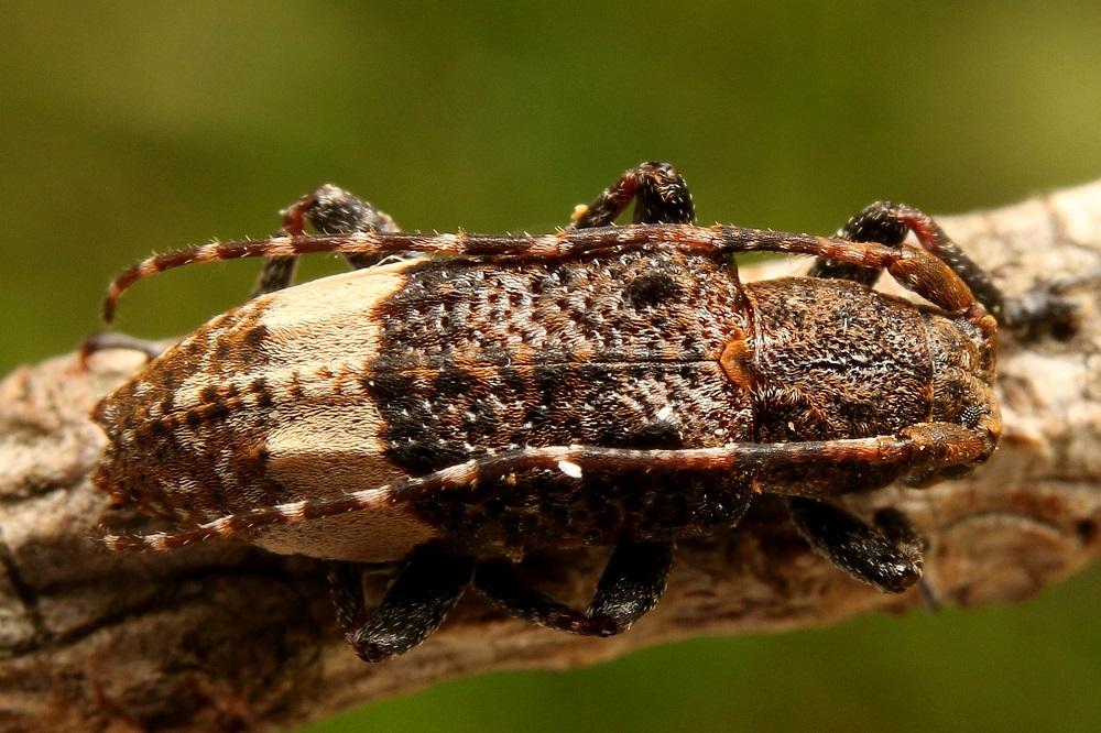 アトジロサビカミキリ (1)b