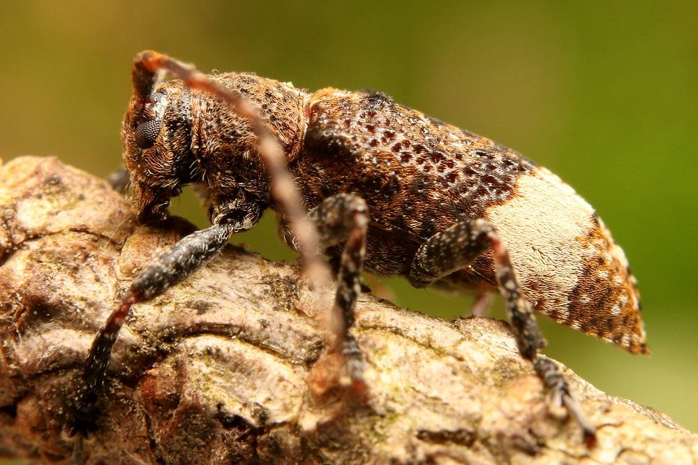 アトジロサビカミキリ (2)b