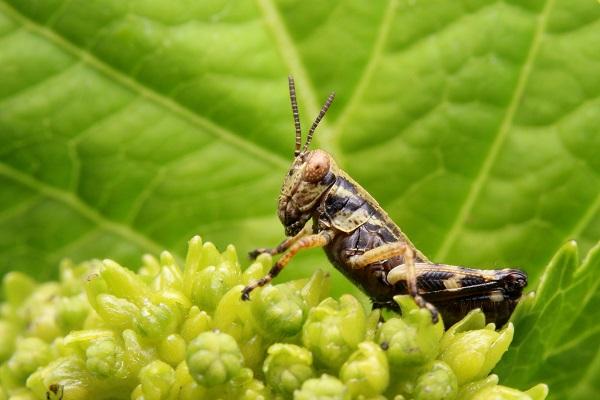 フキバッタ幼虫b
