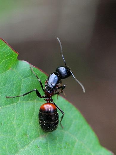 ムネアカオオアリ女王蟻 (2)b