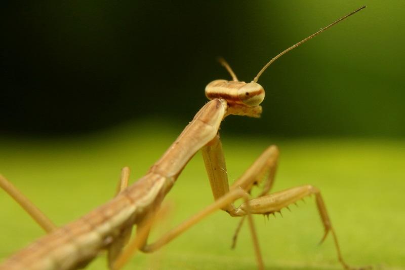 カマキリ幼虫 (1)b