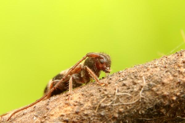ニイジマチビカミキリ (1)b