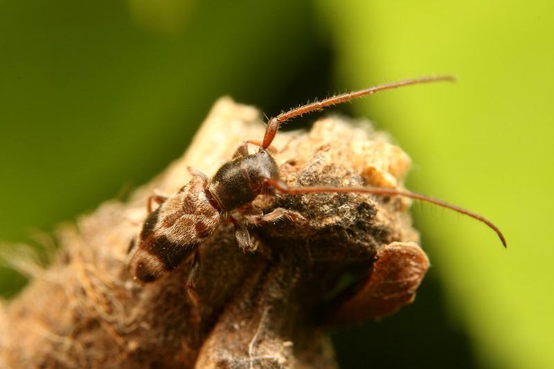 ニイジマチビカミキリ (2)b