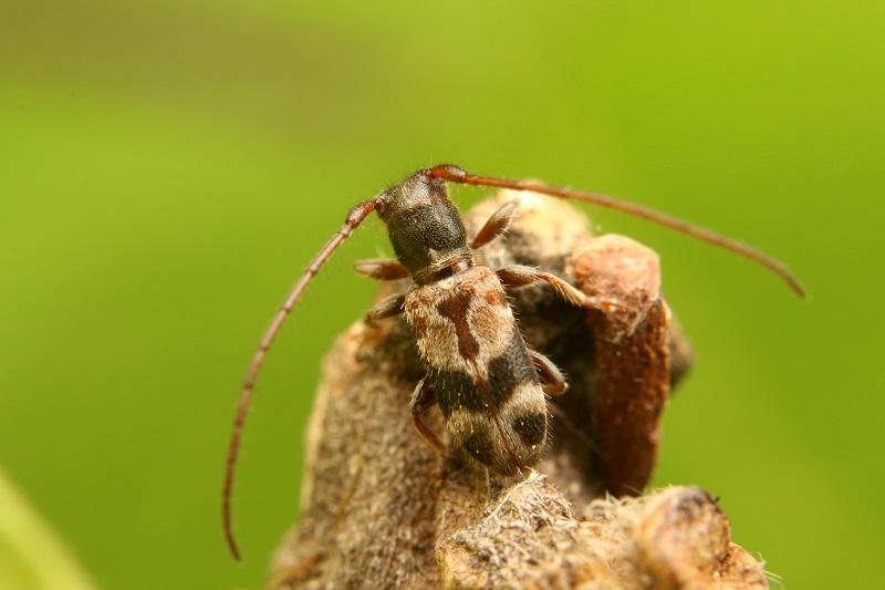 ニイジマチビカミキリ (3)b