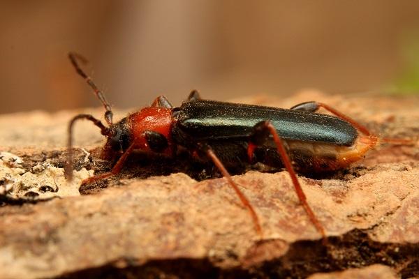 チャイロホソヒラタカミキリ (1)b
