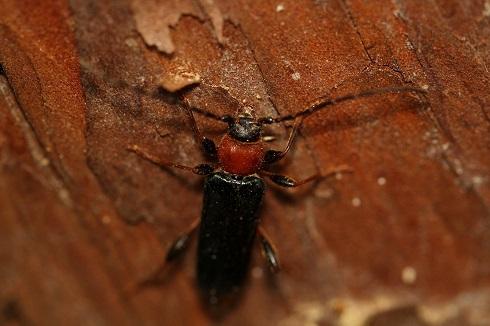 チャイロホソヒラタカミキリ (2)b