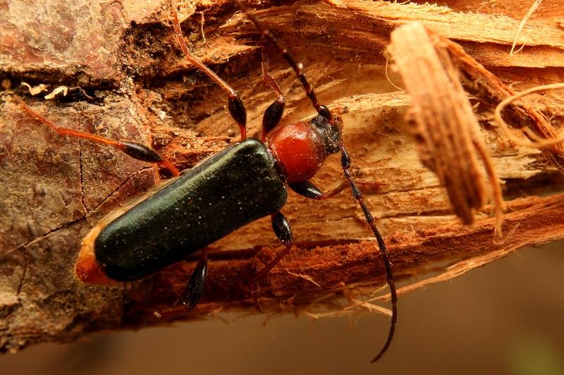 チャイロホソヒラタカミキリ (3)b