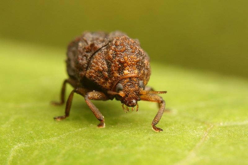 ハバビロコブハムシ (1)b